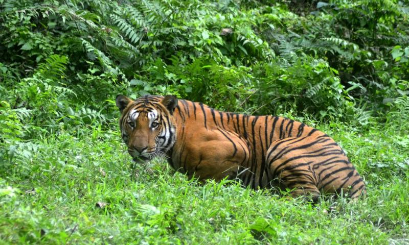 Появившийся из леса тигр загнал гостей индийской свадьбы на крышу