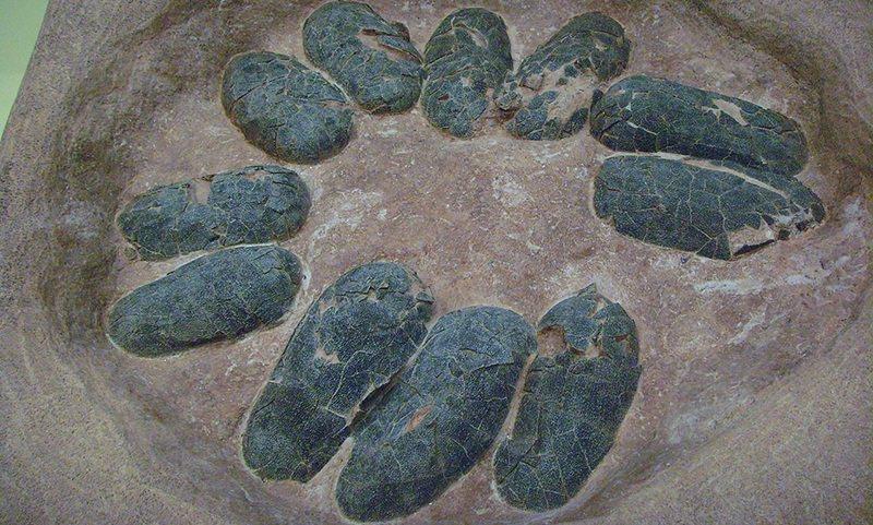 В Китае нашли кладку яиц динозавра возрастом 130 миллионов лет