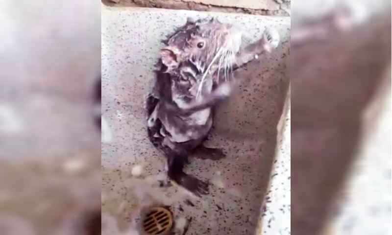 Видео с моющейся крысой раскололо пользователей Сети на два лагеря