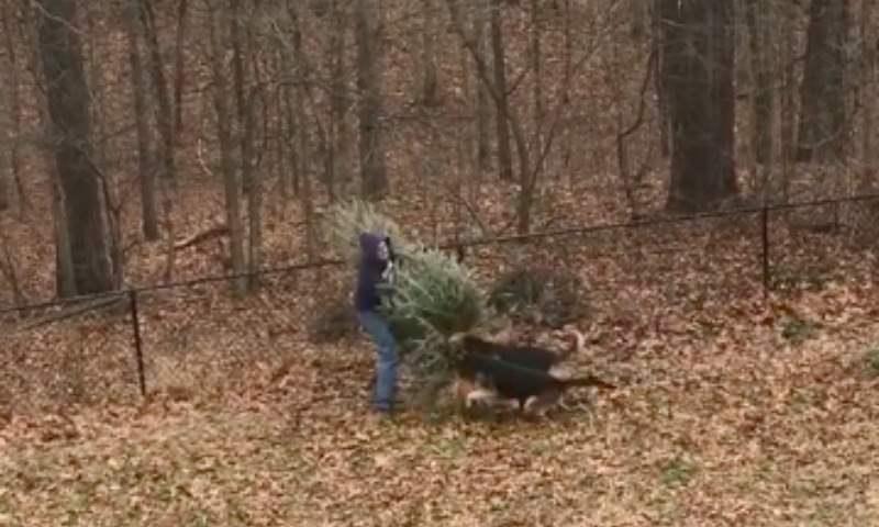Овчарки завалили выкидывающего новогоднюю ель хозяина