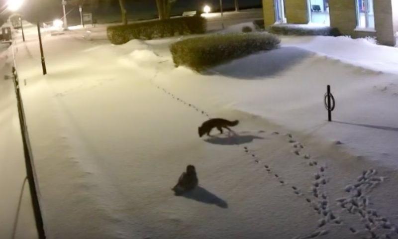 Сова и лиса устроили потешный поединок в Канаде