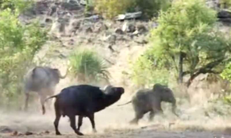 Буйволы отбили слоненка у стаи львов