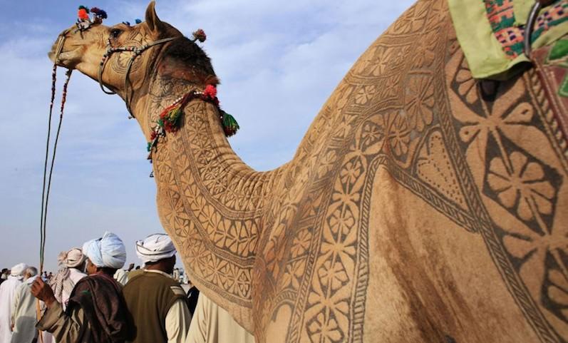 Верблюдов с позором выгнали с конкурса красоты: переборщили с ботоксом