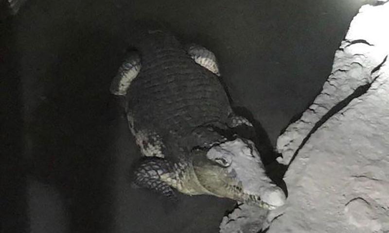 В Санкт-Петербурге в подвале жилого дома обнаружен крокодил