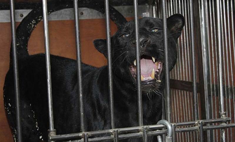 Пантера загрызла мужчину в Подмосковье и сбежала