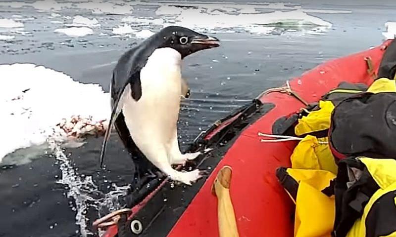 Вглобальной web-сети появилось видео пингвина, запрыгнувшего влодку кученым