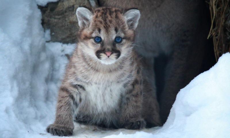 В Новосибирском зоопарке пумы Милана и Гудзон принесли потомство