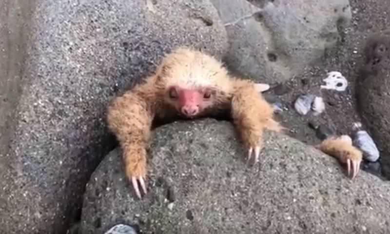 Детеныш ленивца жалобно просил людей о помощи