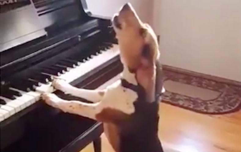 Когда душа поет: пес спел, подыгрывая себе на пианино
