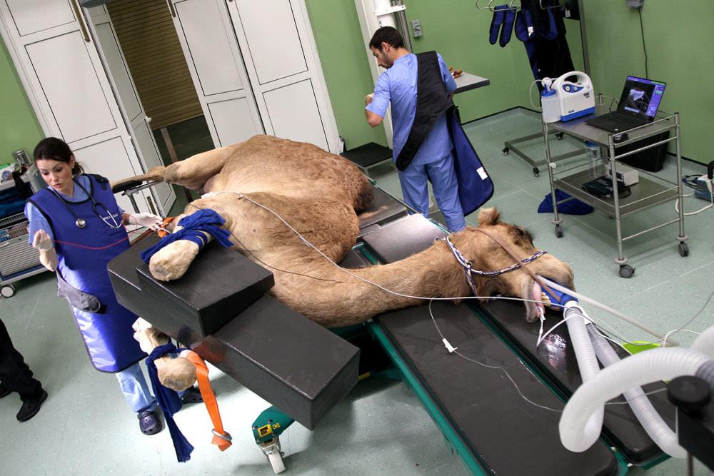 верблюд ботакс
