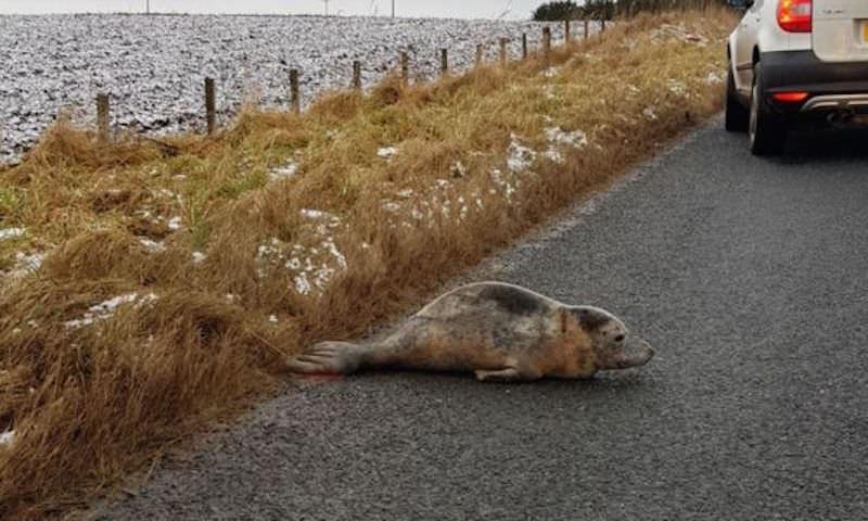 Тюлененок блокировал автомобильное движение в Шотландии
