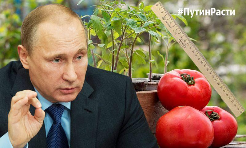 Челябинские садоводы решили померяться «Путиным» с помощью линейки: чей больше