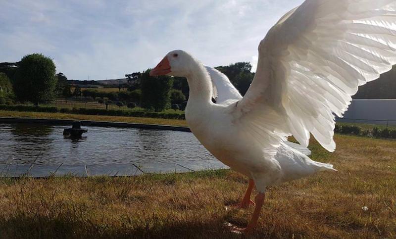Вырастивший 68 лебедят гусь-бисексуал умер в возрасте 40 лет