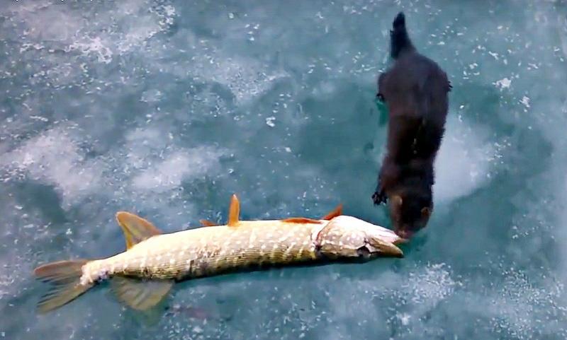 Голодная норка стащила щуку у рыбаков