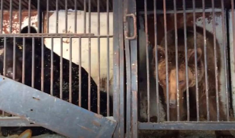 Цирк уехал и бросил медведей-артистов умирать от голода