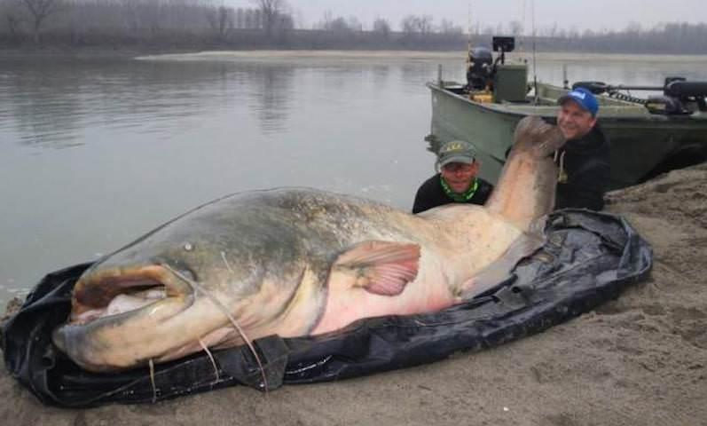 Рыбаки выловили в реке 130-килограммового монстра