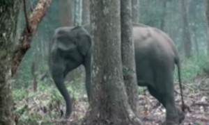 Ученых шокировала курящая слониха