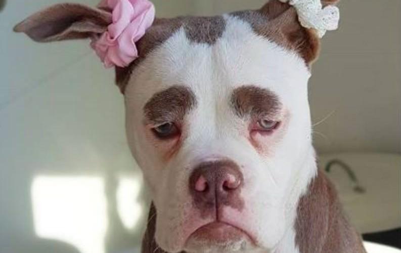 Мадам Брови - самый грустный бульдожка в мире