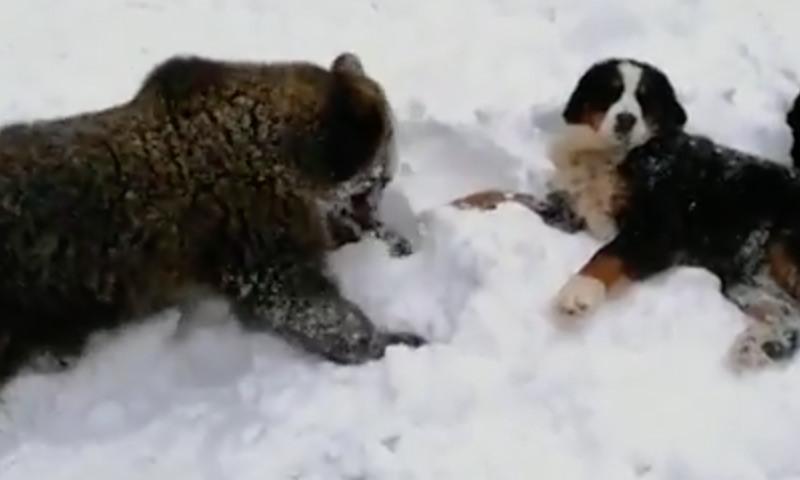 Медвеженок Винни вышел из спячки и побежал здороваться с собаками