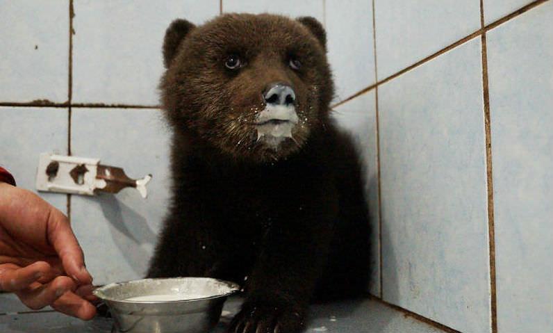 Жители Ленобласти спасли медвежонка-потеряшку