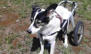 Мужчина украл коляску собаки-инвалида, чтобы сдать в металлолом