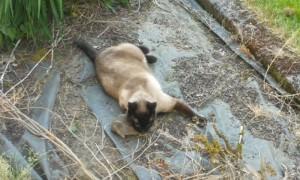 Кролик был выплюнут котом, но сожран совой