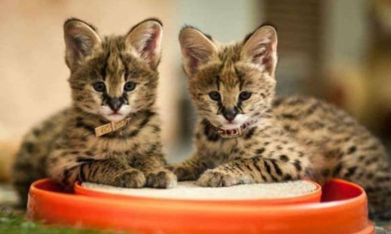 Котят за полмиллиона продает жительница Новосибирска