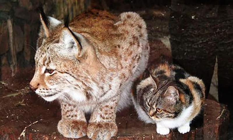Кошка вырастила брошенного мамой рысенка