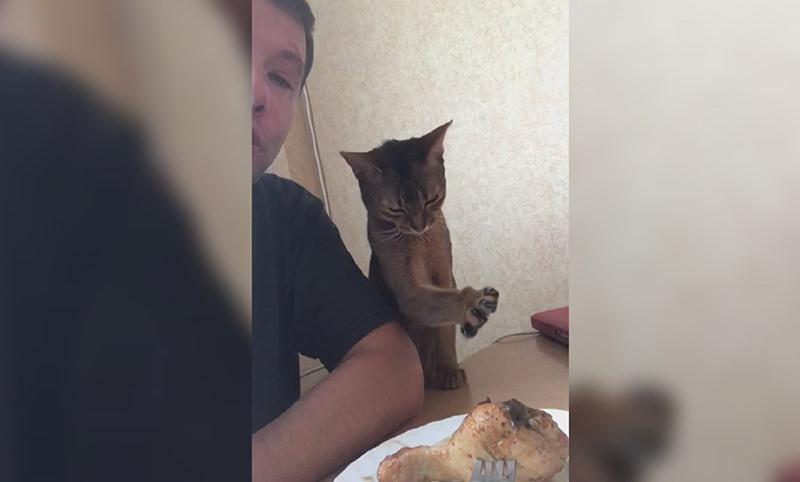 Кошка лаской пытается заслужить у хозяина курицу