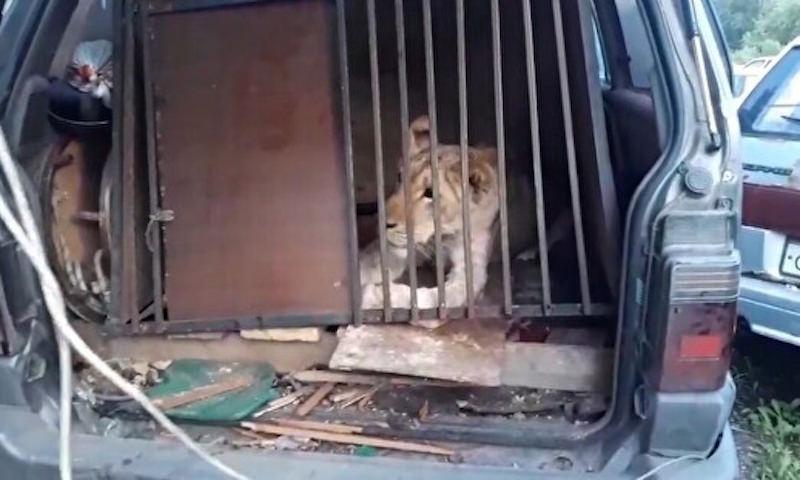 Львицу, псов и питонов на две недели заперли в машине в Челябинске