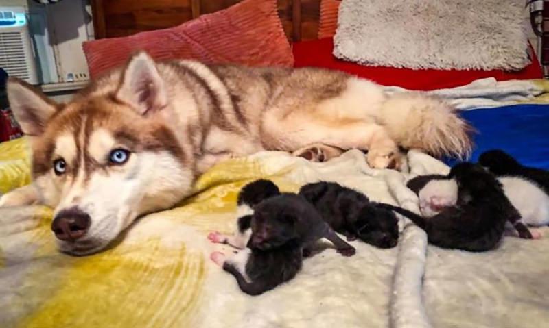 Хаски спасла от гибели 7 новорожденных котят