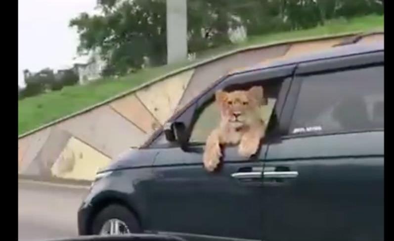 По Владивостоку льва катали