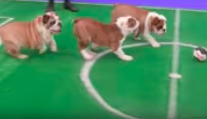 Нервным болельщикам рекомендовали смотреть щенячий футбол