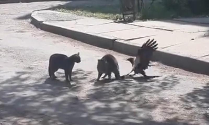 Ворона-пакостница вмешалась в драку котов