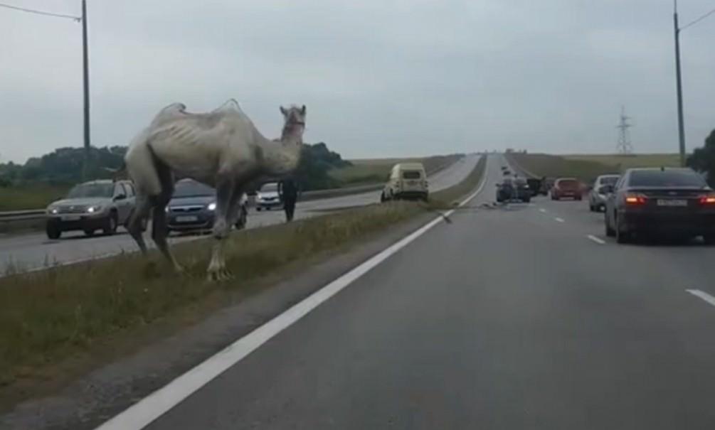 Верблюд «разбил» машину инкассаторов под Тулой