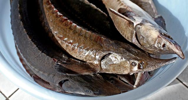 В России подешевела красная рыба