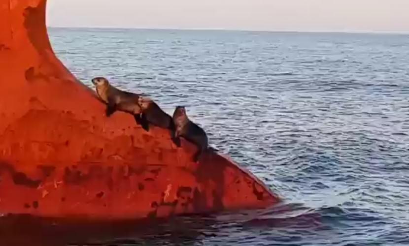 Три ленивых тюленя