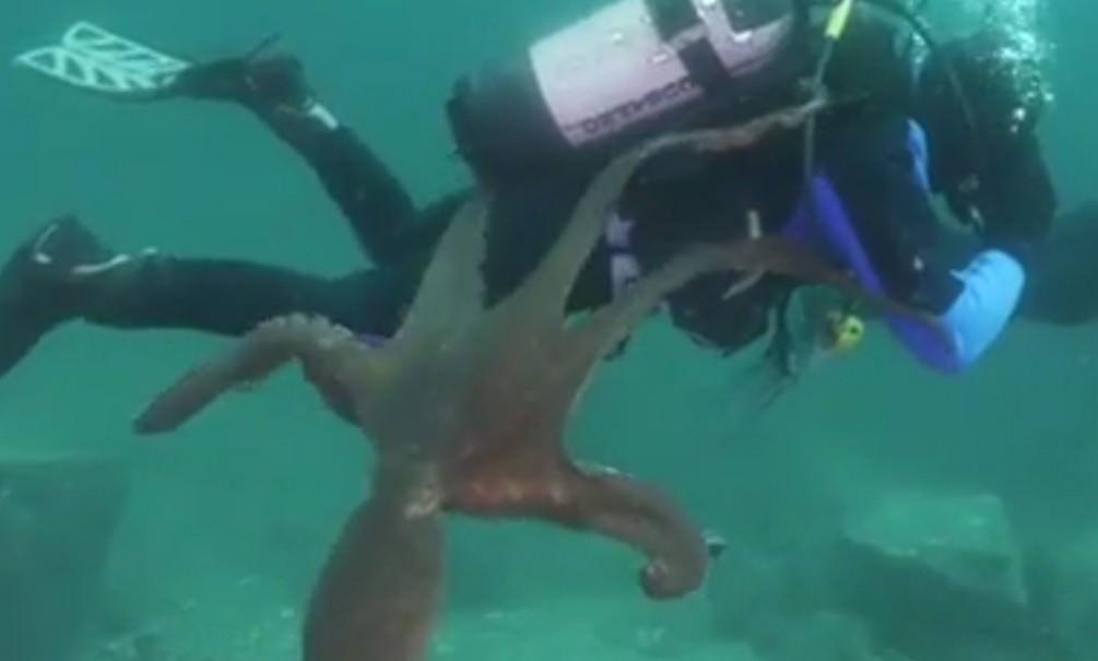 Приморский осьминог вступил в схватку с дайвером