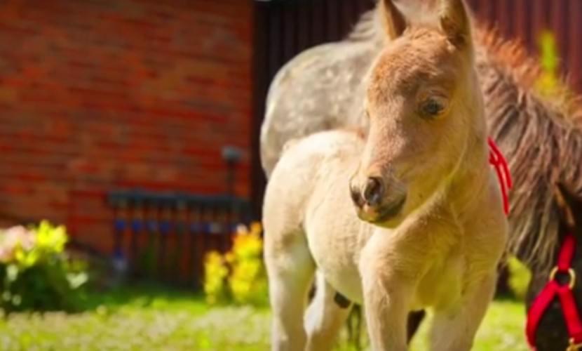 Гуливер - самая маленькая лошадь в мире