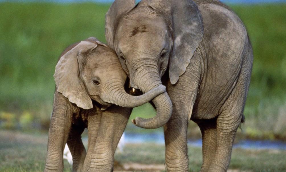 Слонихи спасли тонувшего детёныша в китайской реке