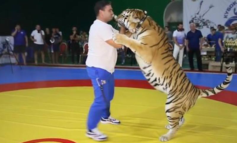 Мужчина устроил поединок самбо с тигром в Крыму