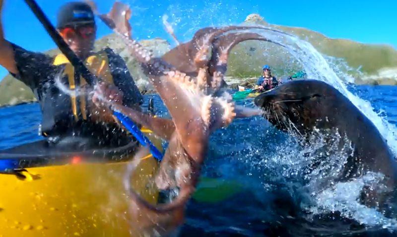 Тюлень дал пощёчину каякеру осьминогом