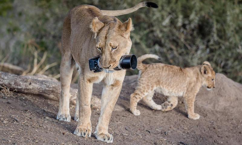 Львица украла у фотографа камеру за $2500 и отнесла своим детенышам