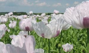 Минздрав призвал разрешить выращивание растений для добычи наркотических средств