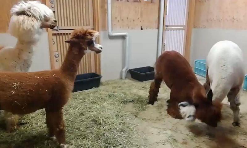Две ламы альпака устроили потешную драку в Центре дружбы животных