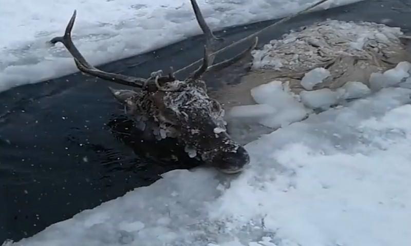 Глава Баргузинского района Бурятии спас изюбря из полыньи
