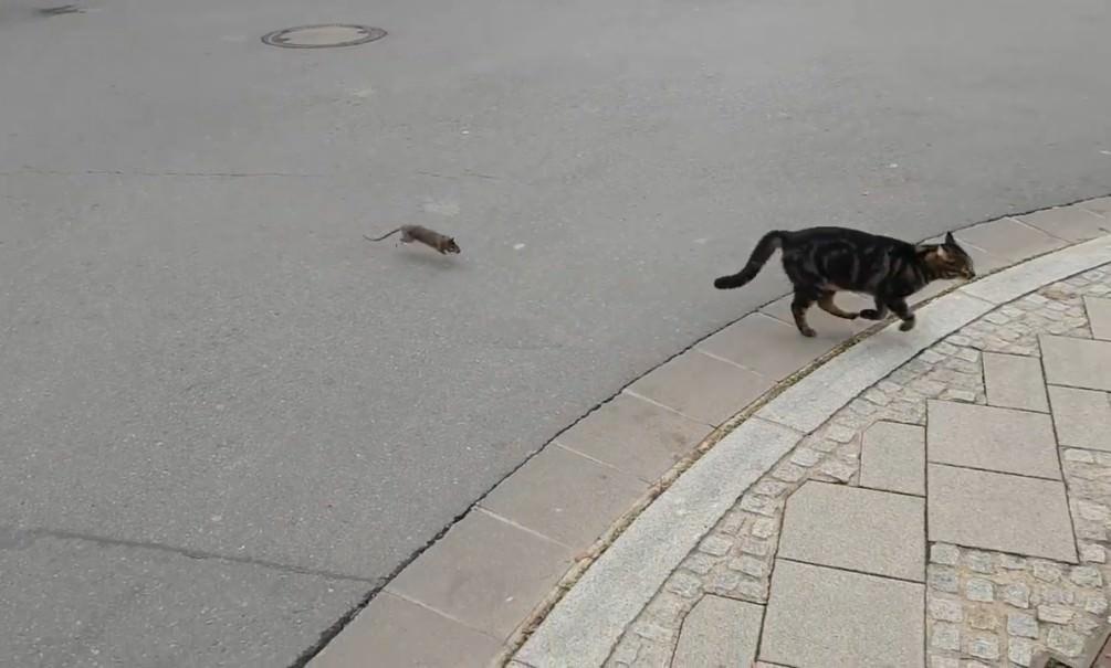 Смелая крыса заставила кота спасаться бегством