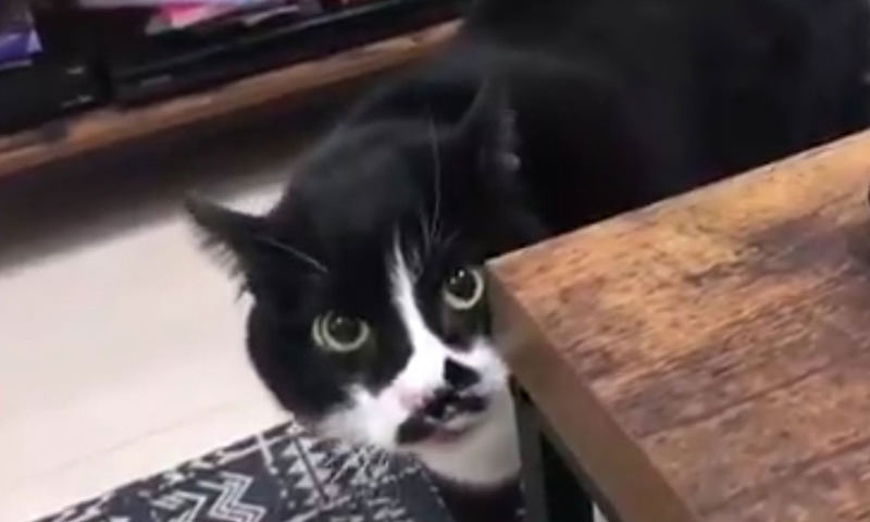 Кот выучил грузинскую песню и спел её хозяину