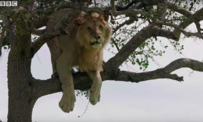 И среди львов встречаются трусы