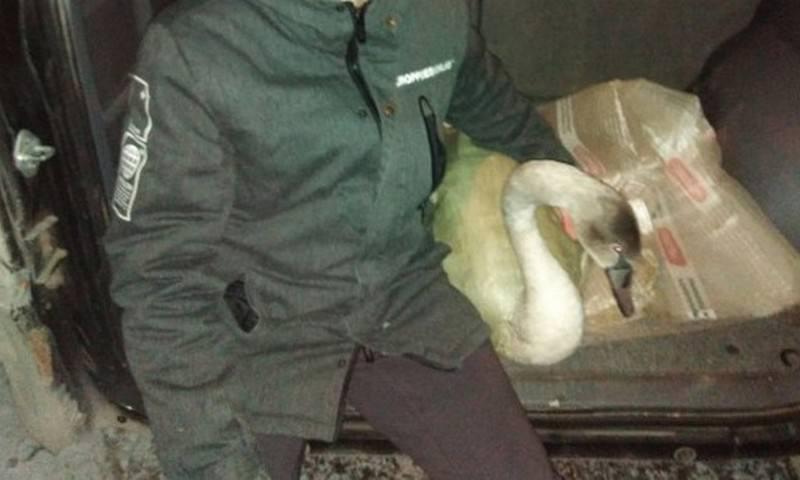Замерзших лебедей спасла нормальная «омская пацанва»